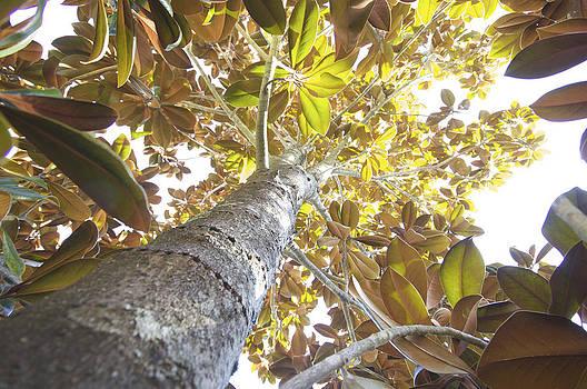 Magnolia by Jessica Snyder