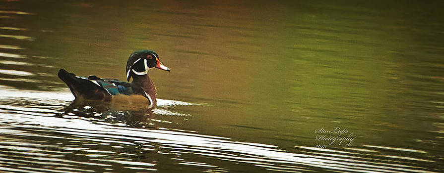 Male Wood Duck by Stanley Lupo
