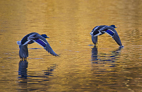 Mallard Ducks in flight across and autumn lake by Simon West