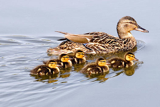 Mallard with Babies by Michele Wright