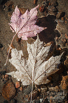 Elena Elisseeva - Maple leaves in water