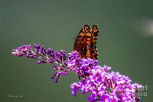Monarch Butterfly by Jinx Farmer