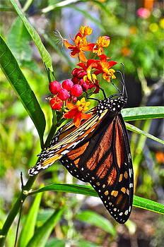 Monarch Butterfly by Mark Lemon