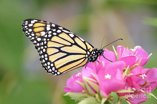 Oscar Gutierrez - Monarch Butterfly on Pink Flower
