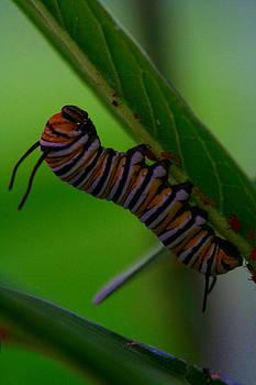Monarch Caterpillar by April Wietrecki Green
