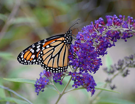 Monarch by David Armstrong
