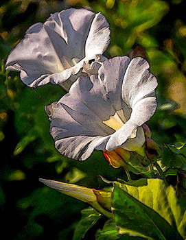 Morning Glories by Pandyce McCluer