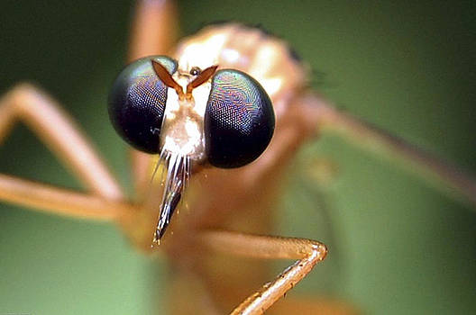 Mosquito by Scott Staley