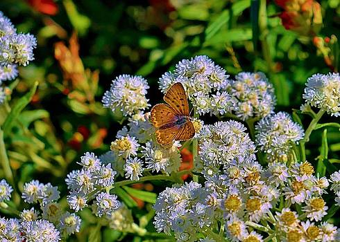Moth on Pearly everlasting by Vivian Markham