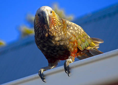 Venetia Featherstone-Witty - New Zealand Kaka