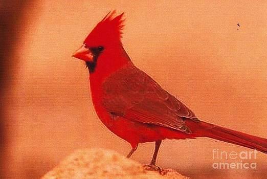 Diane Kurtz - Northern Cardinal