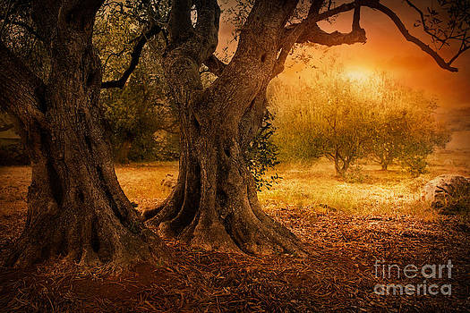 Mythja  Photography - Old olive tree