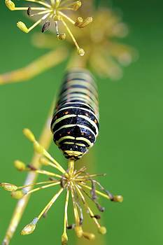 Old World Swallowtail Caterpillar by Heiti Paves