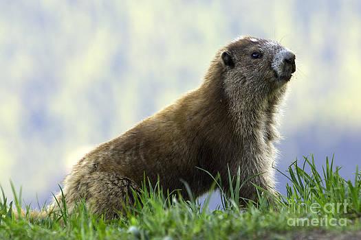 Tim Moore - Olympic Marmot