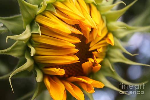 Alexander Butler - Opening Sunflower