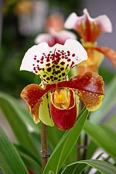 Orchid flower by Borislav Marinic