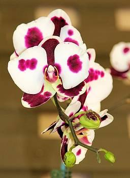 Jane Girardot - Orchid