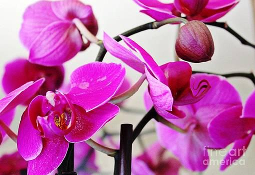 Orchid by Judy Palkimas