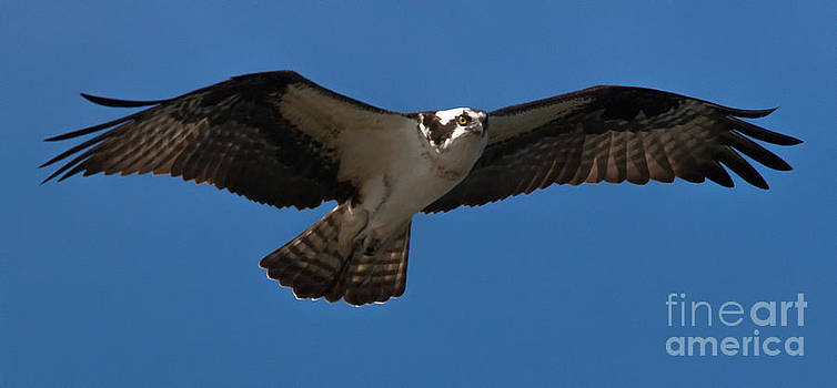 Osprey in Flight by Ursula Lawrence