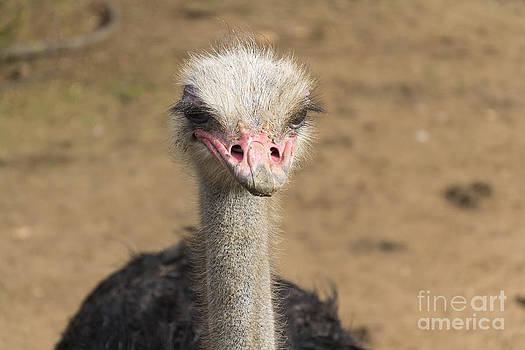 Ostrich by Stefano Piccini