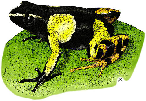 Painted Mantella Frog by Roger Hall