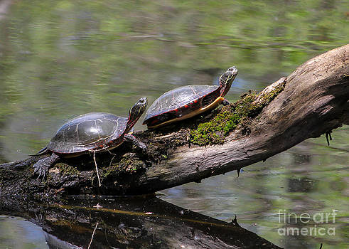 Painted Turtle Sunning by Rebecca Brooks