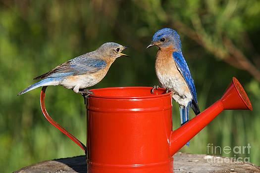 Linda Freshwaters Arndt - Pair Of Eastern Bluebirds