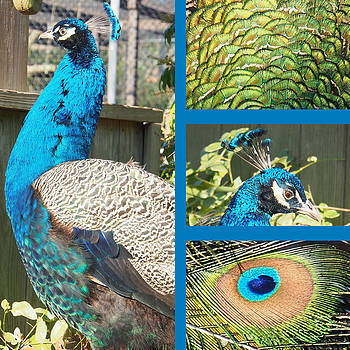 Peacock by Adrienne Franklin