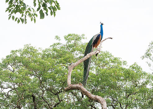Peacock in tree by Christina Rahm