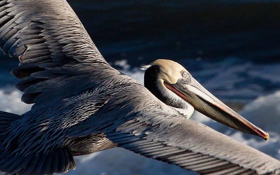 John Daly - Pelican Flight
