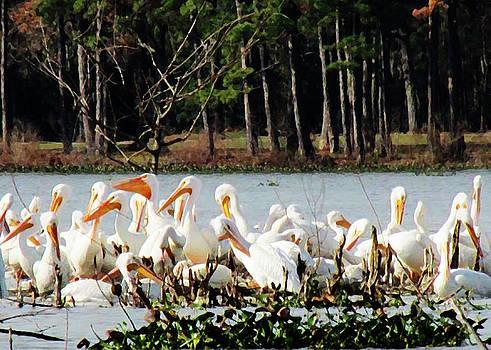 Shere Crossman - Pelicans