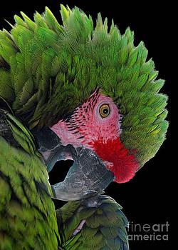 Pensive Parrot by Geoff Crego