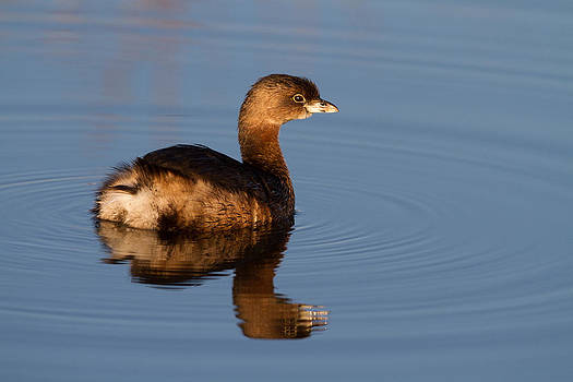 Pied-billed Grebe by Don Baccus
