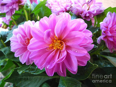 Pink Chrysantmum by Stefano Piccini