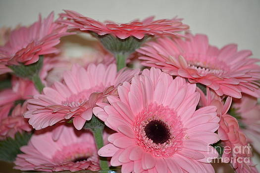 Pink Gerbera Flowers by P S