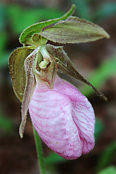 Pink Ladyslipper Orchid  by William Tanneberger