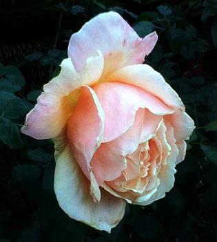 Pink Rose Bud by Shan Ungar