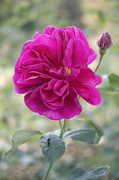 Pink rose by Matthias Hauser