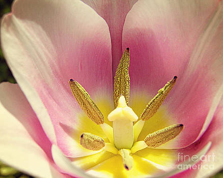 Pink Tulip by Emily Kelley