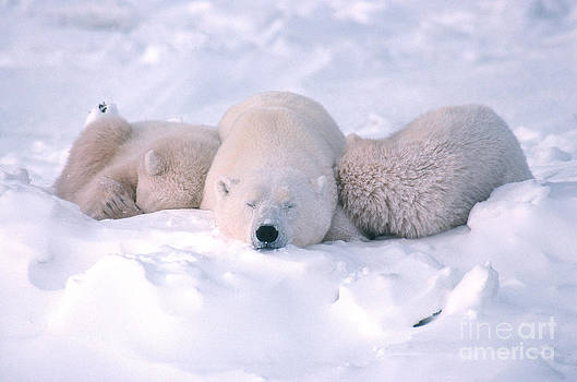 Ted Kerasote - Polar Bear Sow And Two Cubs Sleeping