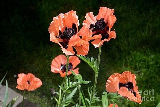 Poppies by Galina Khlupina