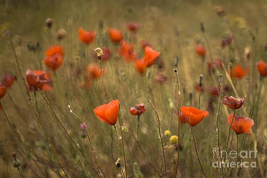 Angel  Tarantella - poppy field