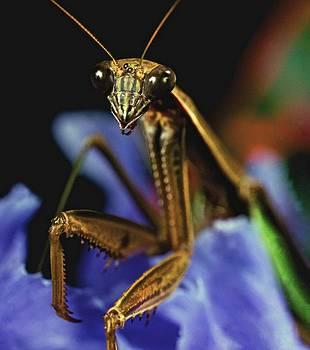 Praying Mantis  Closeup Portrait 4  on Iris flower by Leslie Crotty
