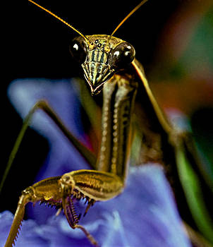 Praying Mantis  Macro Closeup Portrait 3  on Iris Flower by Leslie Crotty