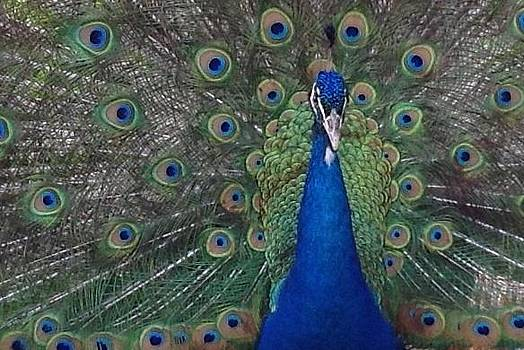 Proud peacock by Beverly Little
