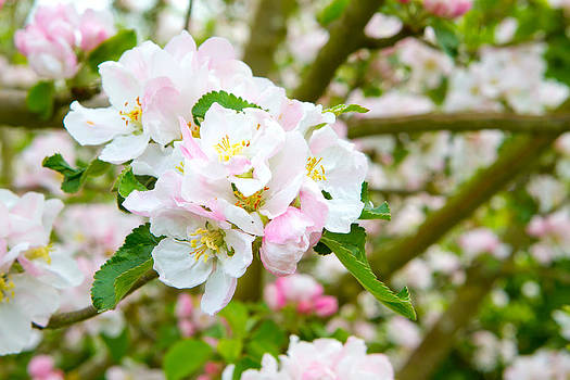 Fizzy Image - Prunus genus - Pink Cherry Blossom flower on a warm spring day