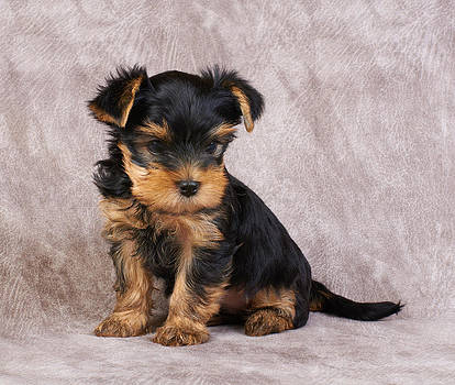 Puppy of the Yorkshire Terrier by Konstantin Gushcha