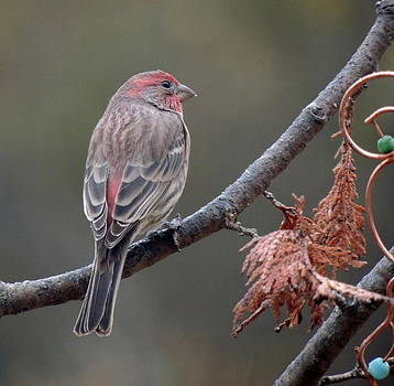 Purple-Finch by Amalia Jonas