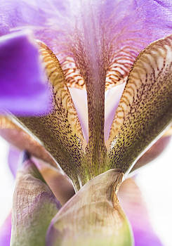 Purple Iris by Alan Roberts