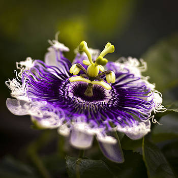 Purple Passion Flower by Bradley R Youngberg